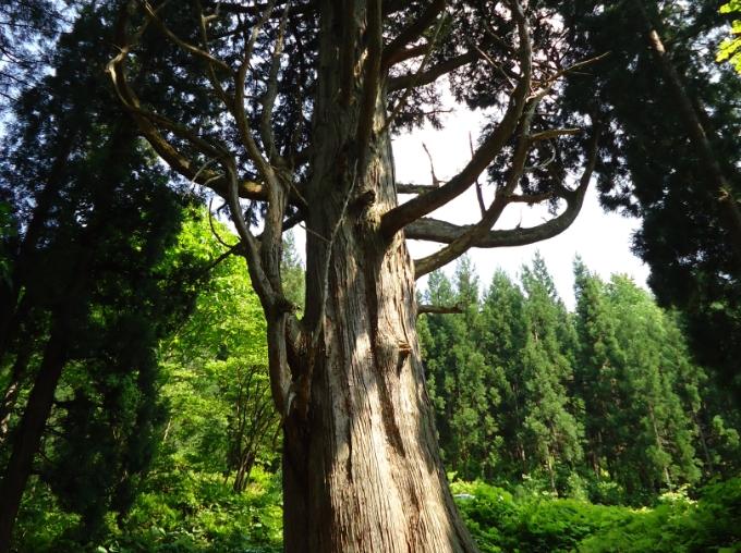 滝の沢の一本杉