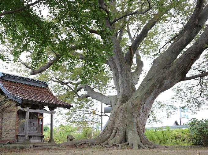 三川町のシンボル・山の神のケヤキ