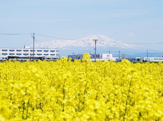 町内を黄色に染める菜の花