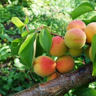 樹上で完熟させた「梅」