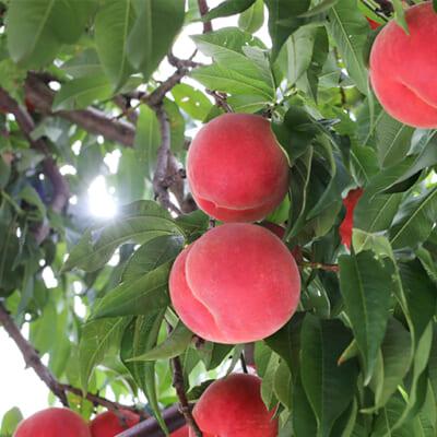 果樹栽培で重要なことは「光合成」