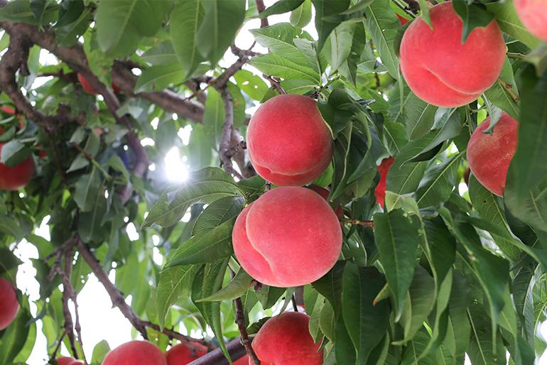 昼夜の寒暖差が大きい東根市での桃栽培