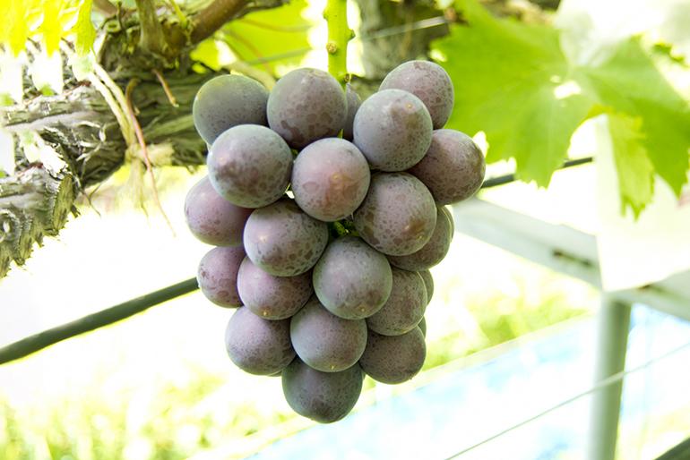 ぶどう栽培が盛んな高畠町産「大粒ぶどう」