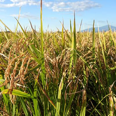 作付面積の激減で「幻の米」