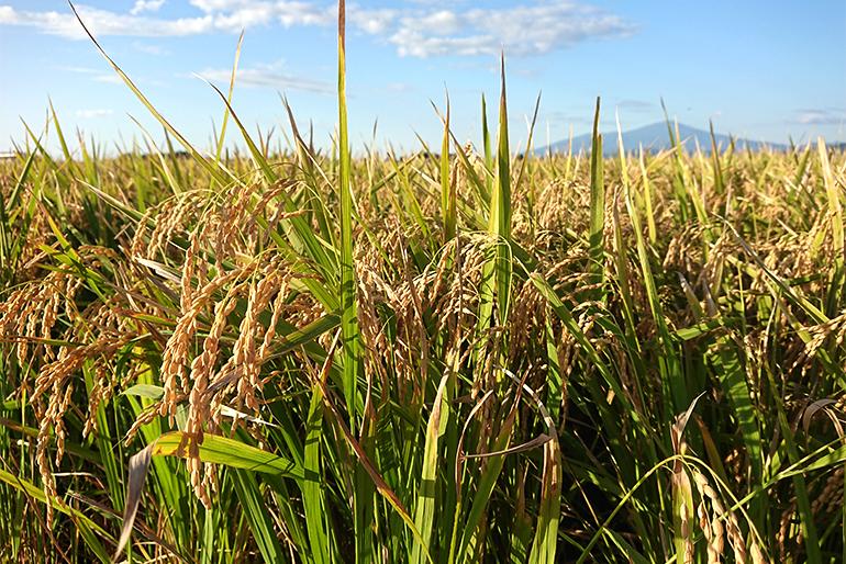 作付面積の激減で「幻の米」となったササニシキ