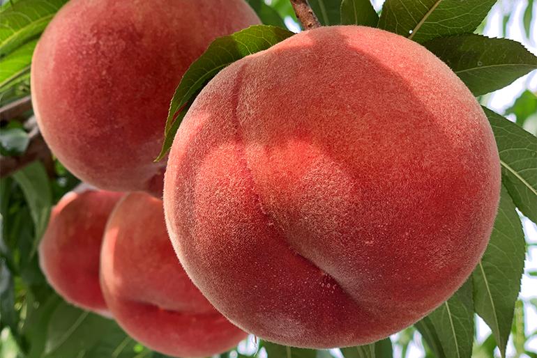 アンスリーファームの桃は例年10月上旬まで味わえます
