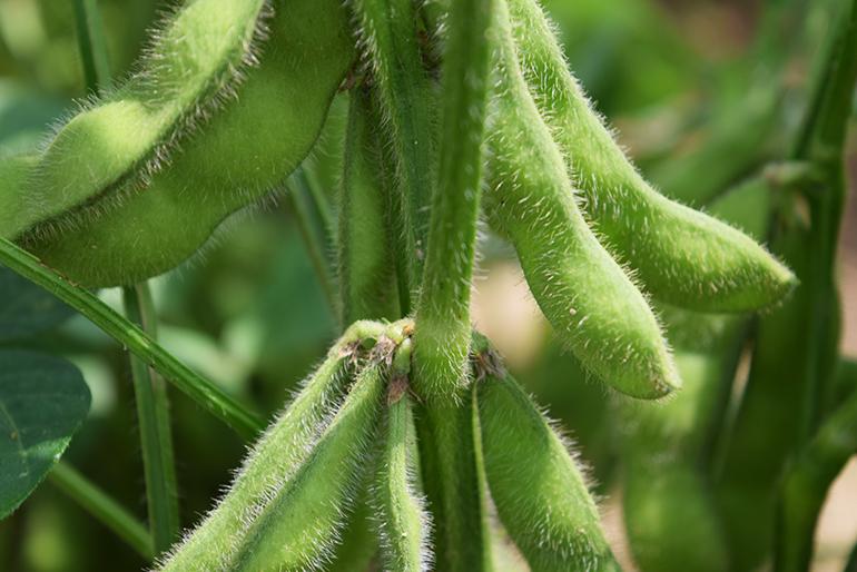 山形県のブランド枝豆「だだちゃ豆」