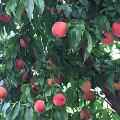 盆地特有の地形が、美味しい果実を育てる