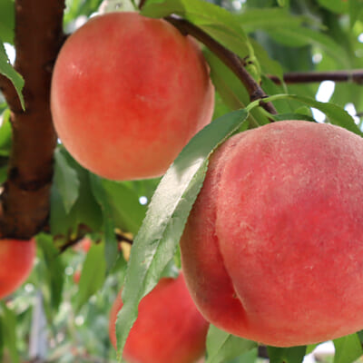 果樹栽培の適地、天童市で育った甘~い白桃