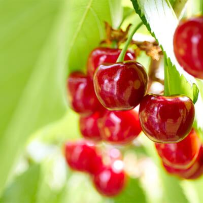 自然豊かな「果樹王国」で育ったさくらんぼ