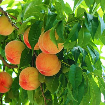 東根市の豊かな自然の中で育った、夏が旬の桃