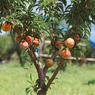 濃厚なプラムを追求する樹上熟成