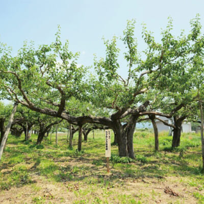 歴史ある農園が育てた、ラ・フランス