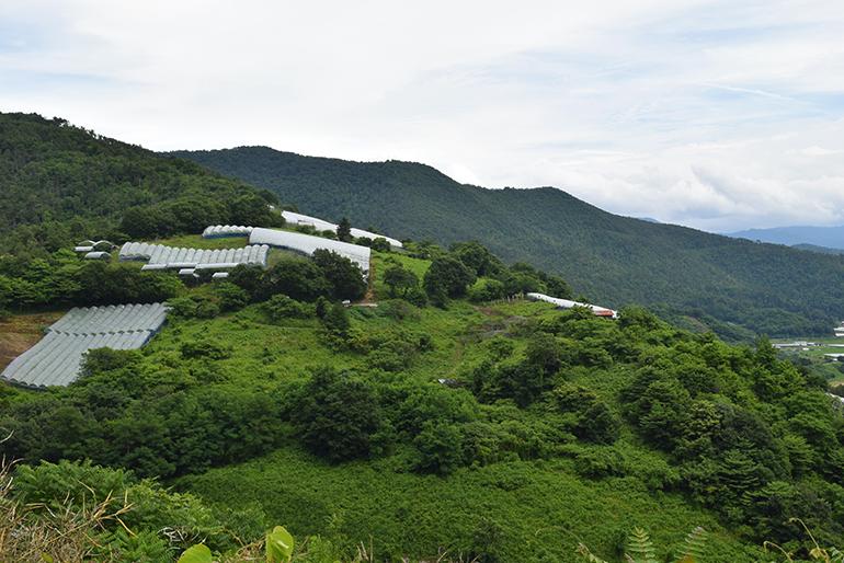 江戸時代から始まった置賜地方のぶどう栽培
