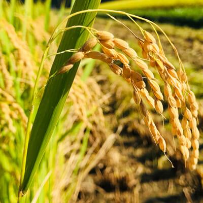 稲が育ちやすい環境を整える、土壌づくり