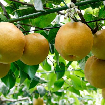山形県有数の梨の産地「鶴岡市櫛引地区」