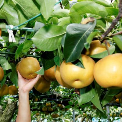 一番おいしい状態の梨を収穫します