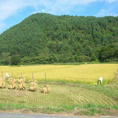 置賜盆地特有の気候が美味しいお米を育む