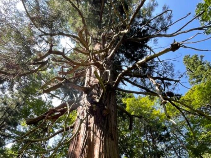 愛宕神社の大杉